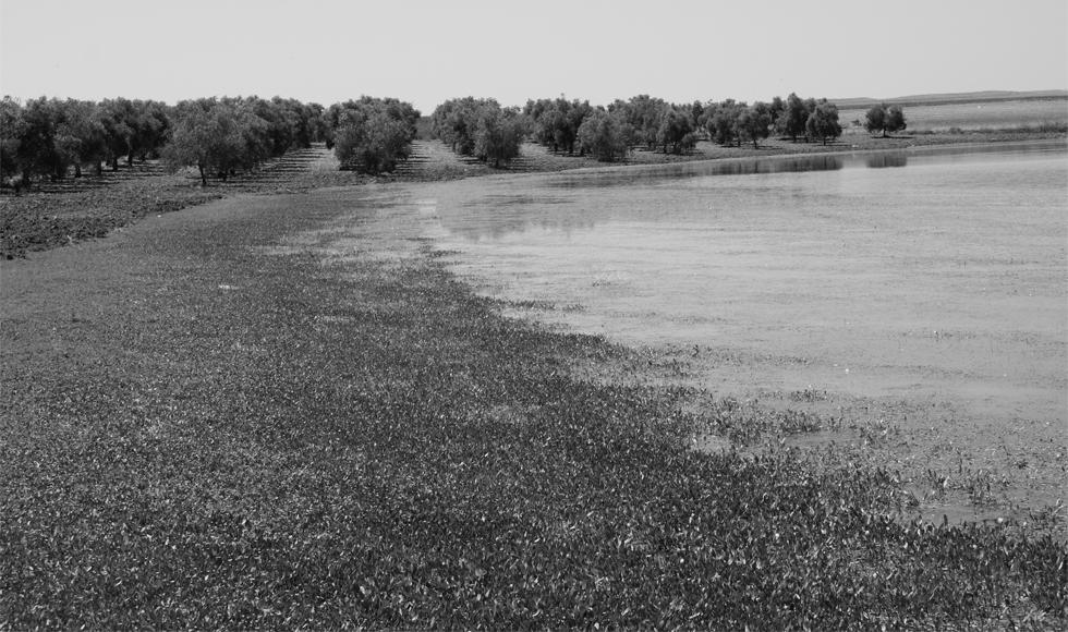 70.000 arbres d'oliviers dédié